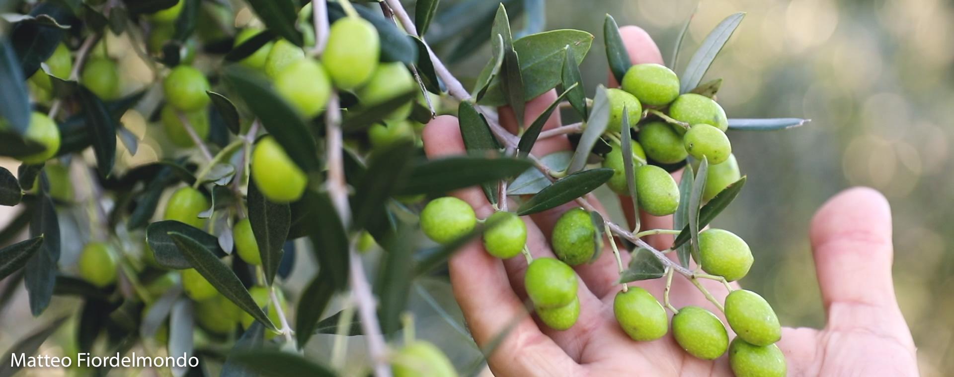 oliva-prima-della-raccolta